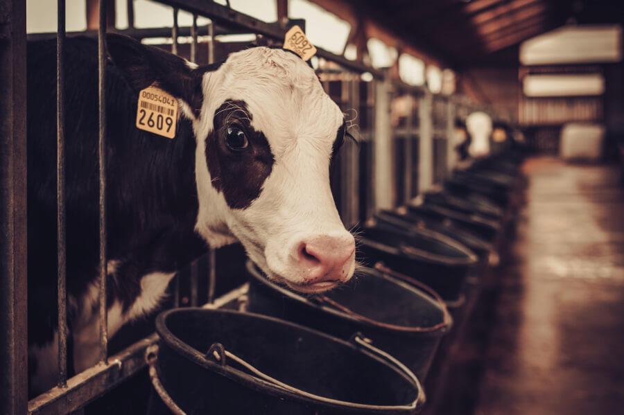 Koncentraty dla bydła